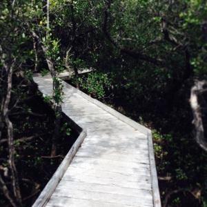 The mangrove boardwalk